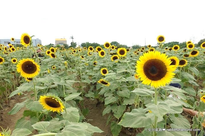 向日葵主題農場