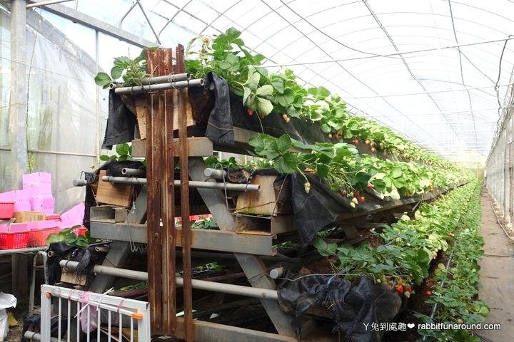 溫室立體草莓園