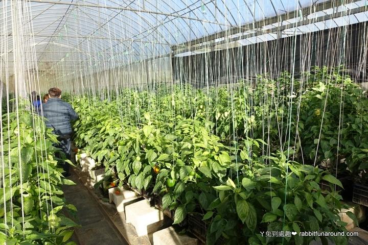 溫室8彩甜椒園