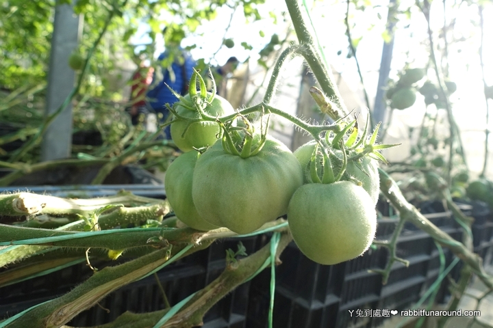 歐洲水蜜桃番茄